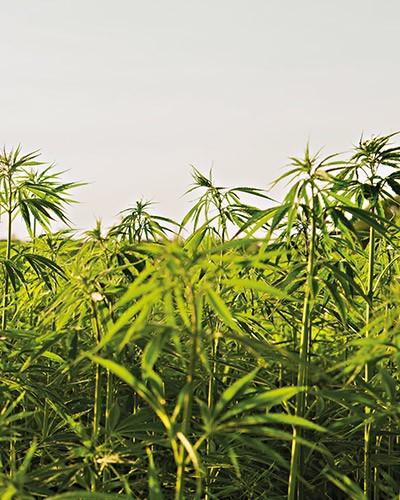 Cannabis – einfach nur ein bisschen Entspannung